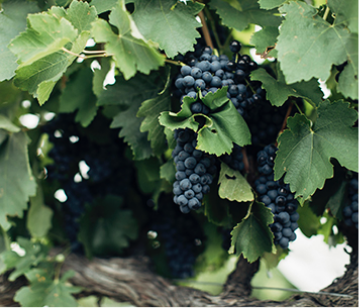Australian Wine Industry Standards of Sustainable Practice – Viticulture – Edition 1 (AWISSP – WIN1)